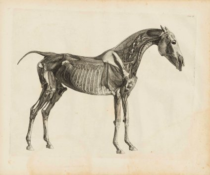 L'anatomia dei cavalli